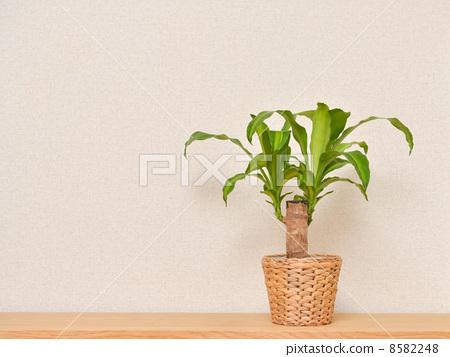 图库照片: 室内盆栽 观叶植物 放置