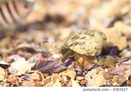 图库照片: 寄居蟹 甲壳动物