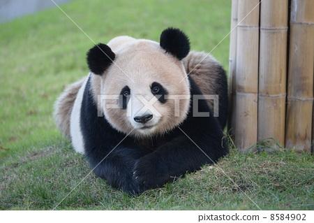 熊猫 大熊猫 黑白