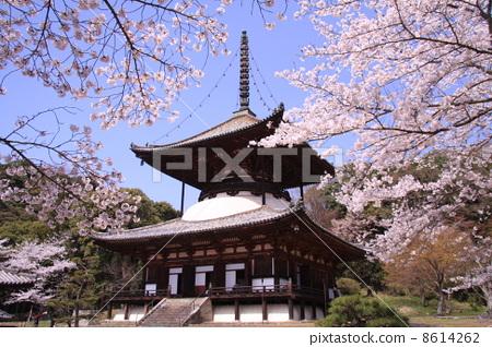 根来寺 根本大塔に咲く桜 8614262