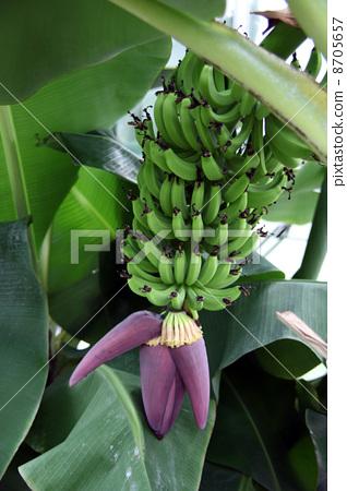 图库照片: 香蕉树 水果 香蕉