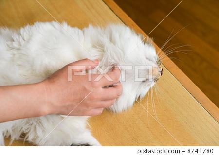 胆小的 滚动的声音 猫