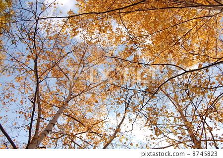 银桦树 日本白桦 场景