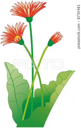 插图素材: 花 非洲菊 花朵