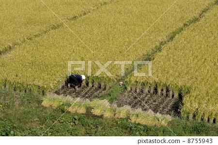 照片素材(图片): 水稻丰收 埼玉市 田园