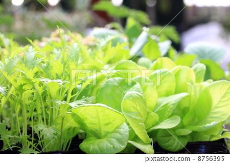 蔬菜 莴苣 野菜-图片素材 [8756395] - pixta