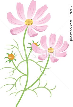 插图素材: 大波斯菊 花朵 花