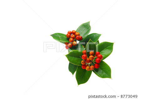 树叶 银杏叶 圣诞冬青