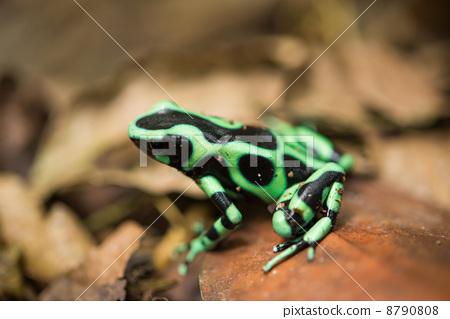 爬行动物_昆虫_恐龙 青蛙 照片 青蛙 两栖的 一只两栖动物 首页 照片