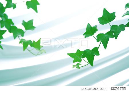 照片素材(图片): 常春藤 空白部分 留白