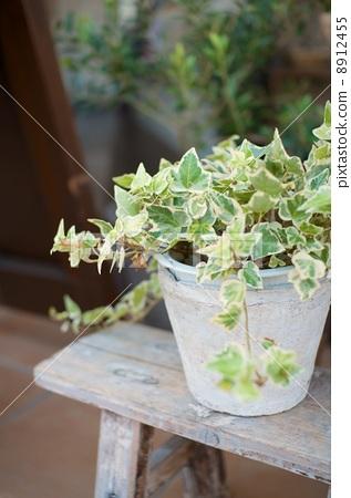 常春藤 室内盆栽 观叶植物
