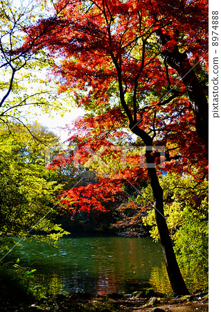 照片素材(图片): 秋天 秋 枫树