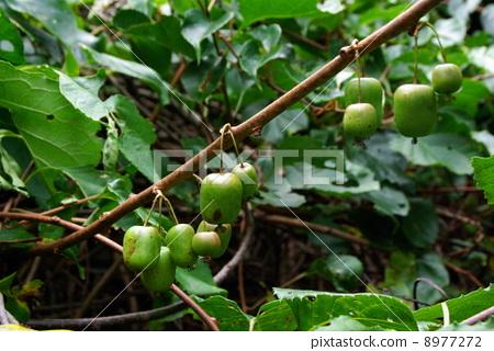 图库照片: 耐寒猕猴桃树 水果 攀援植物