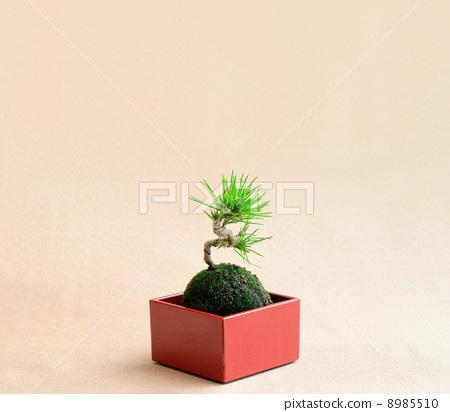 照片 植物_花 树_树木 松树 松树 新年装饰 常青树  *pixta限定素材仅