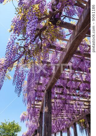 紫藤花架 日本紫藤 落叶阔叶树
