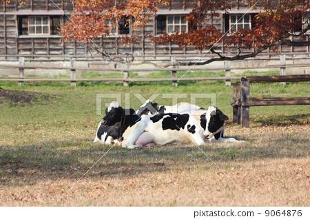 牲口 首页 照片 动物_鸟儿 牛 小岩井农场 奶牛 牲口  *pixta限定素材