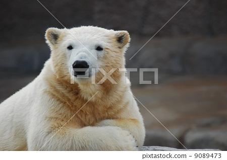熊 北极熊 圆山动物园