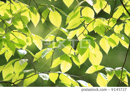 翠绿 银杏叶 树叶
