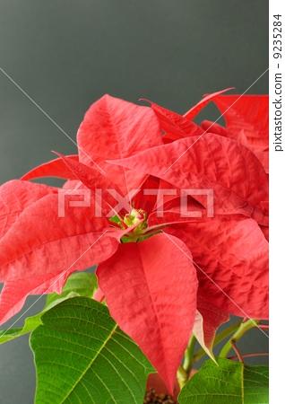 首页 照片 植物_花 花 一品红 一品红 植物 植物学  *pixta限定素材仅