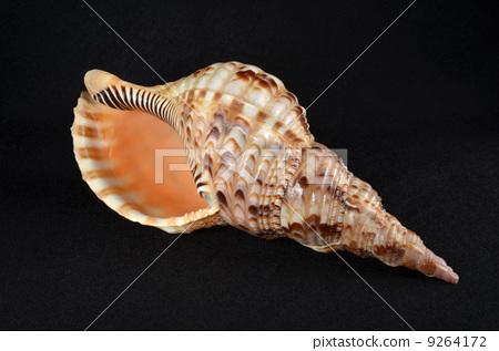图库照片: 海螺