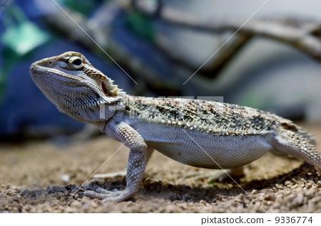爬行动物 爬虫类的 大胡子龙