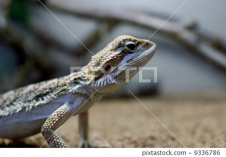 图库照片: 大胡子龙 脊索动物 爬行动物