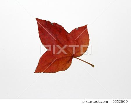 照片 植物_花 树_树木 枫树 台湾胶 枫香树 枫树  *pixta限定素材仅在