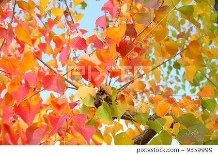 首页 照片 植物_花 树_树木 枫树 树叶 乌桕 枫树  *pixta限定素材仅