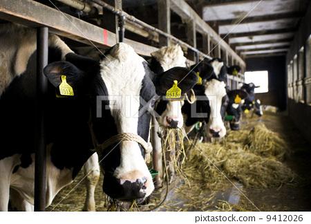 牛棚stock photos - pixta图片