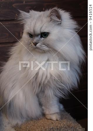 波斯猫 动物 一只动物