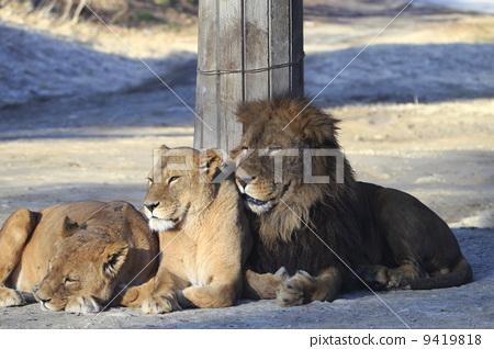 图库照片: 狮子 野生动物园 野生动物