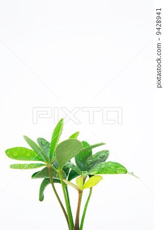 观叶植物 室内盆栽 干燥