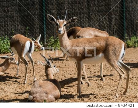 图库照片: 羚羊 动物 美丽