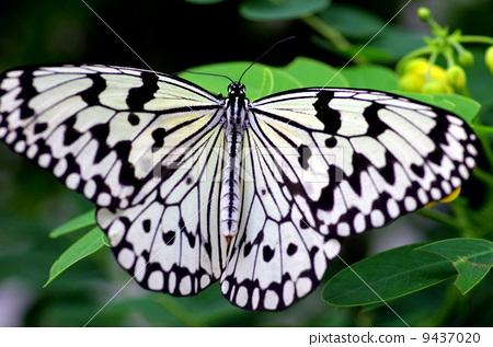 大白斑蝶 树蝶 节肢动物