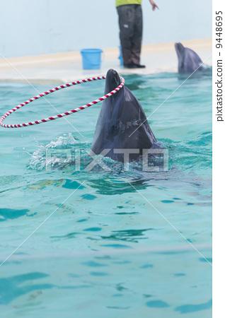 图库照片: 呼拉圈 海豚表演 宽嘴海豚
