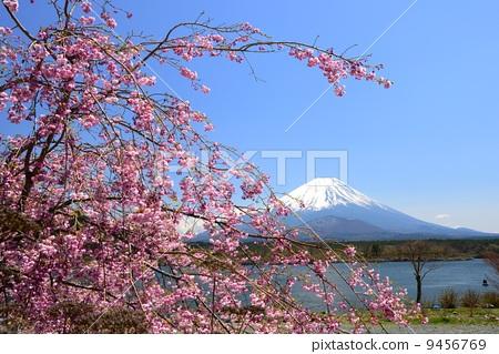 垂枝樱花 富士山 粉红 首页 照片 日本风景 山梨 富士山 垂枝樱花