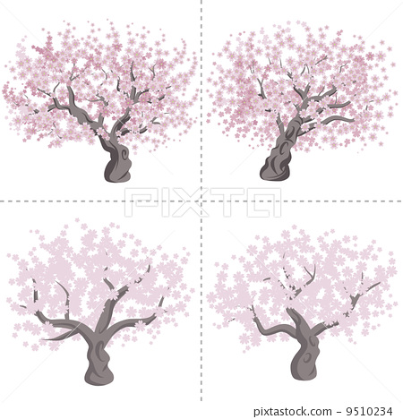 盛开 樱桃树 樱花