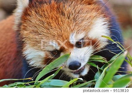 图库照片: 小熊猫 多摩动物园 竹叶草