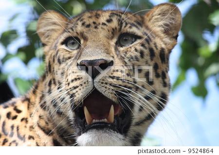 豹子 野生动物 猫科