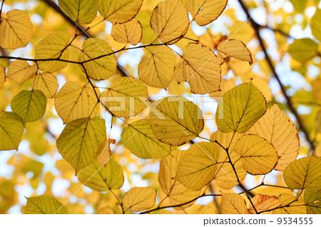背景 壁纸 绿色 绿叶 树叶 银杏 银杏树 银杏叶 植物 桌面 450_318