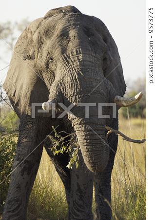 图库照片: 大象 非洲象 动物