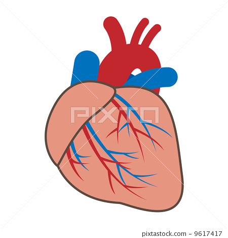 心 心脏的 器官图片