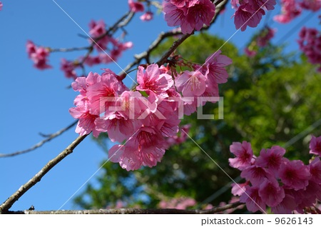 樱花 樱桃树 粉色鲜花