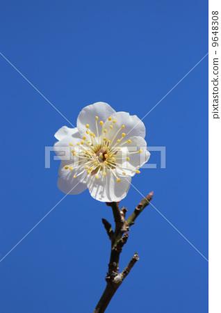 一朵梅花 日本杏花 玫瑰