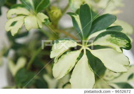 树叶 观叶植物 室内盆栽