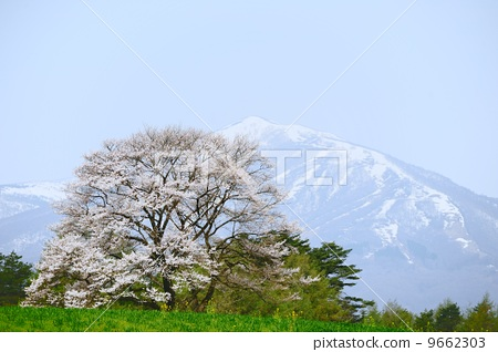 盛开 岩手山 樱桃树