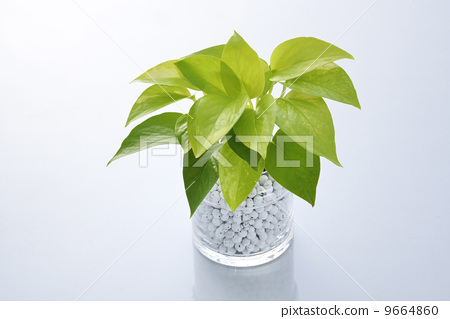观叶植物 室内盆栽 黄金葛