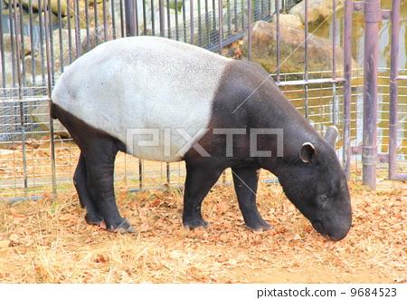 照片素材(图片): 貘 陆生动物 动物