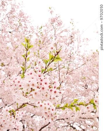 照片素材(图片): 樱花 樱 樱树