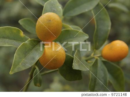 树叶 叶子 金橘(中国橘子)